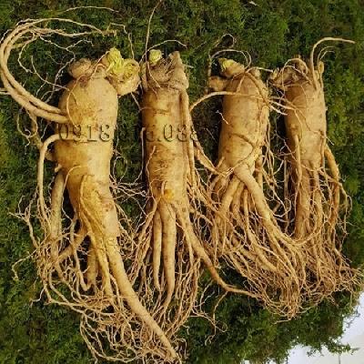 Sâm tươi hàn quốc 4 củ 1kg - ẩn thận, đảm bảo củ sâm đủ tuổi, đẹp nhiều rễ không bị bầm dập. Như chúng ta đã biết từ xa xưa Nhân Sâm đã được biết đến là một vật phẩm quý giá dành cho  giới thượng lưu. Có th�