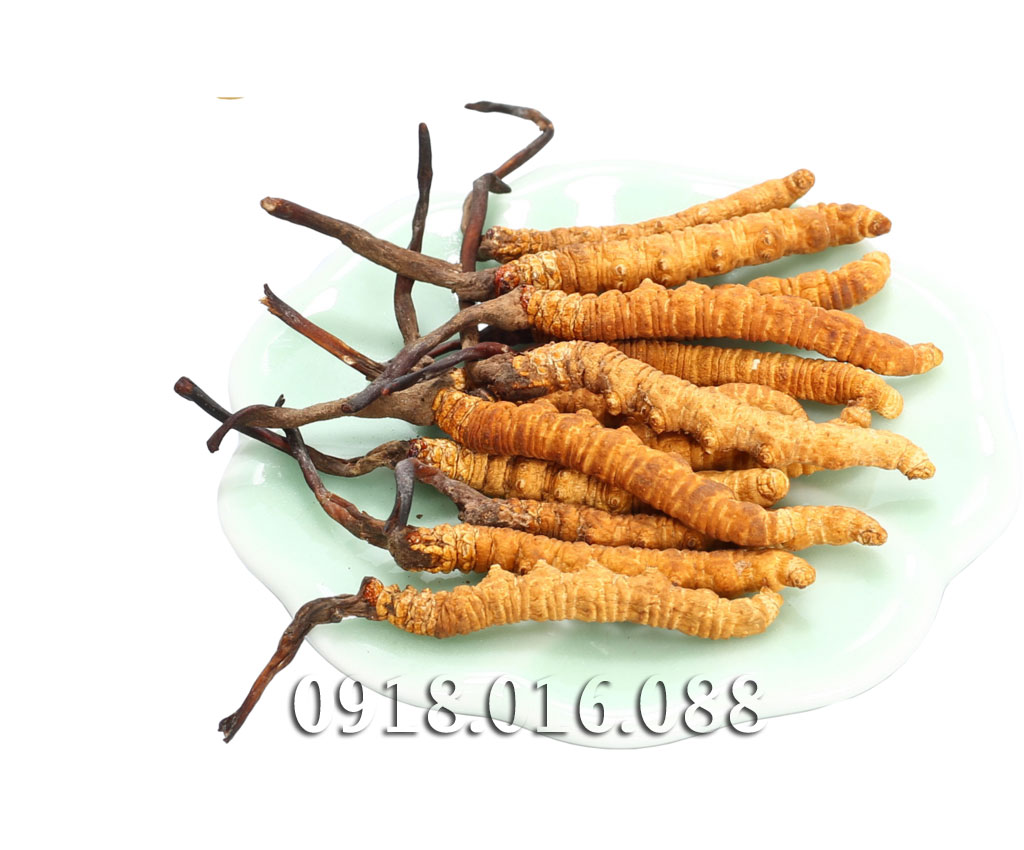 Bảng báo giá bán Đông trùng hạ thảo dạng bột - ĐẠI HỒNG PHÁT 0918.016.088