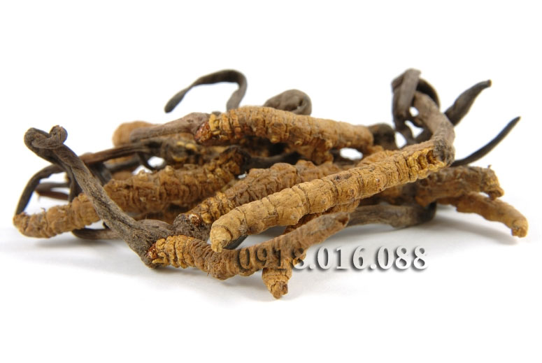 Bảng báo giá bán Đông trùng hạ thảo khô Hàn Quốc - ĐẠI HỒNG PHÁT 0918.016.088